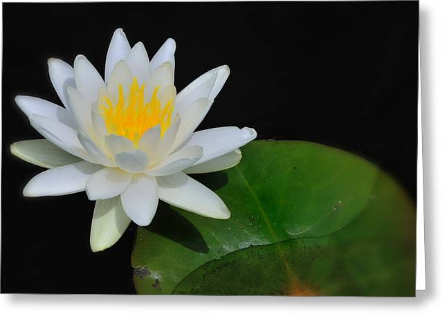 White Lotus Greeting Cards - White Water Lily Greeting Card by Thomas Schoeller