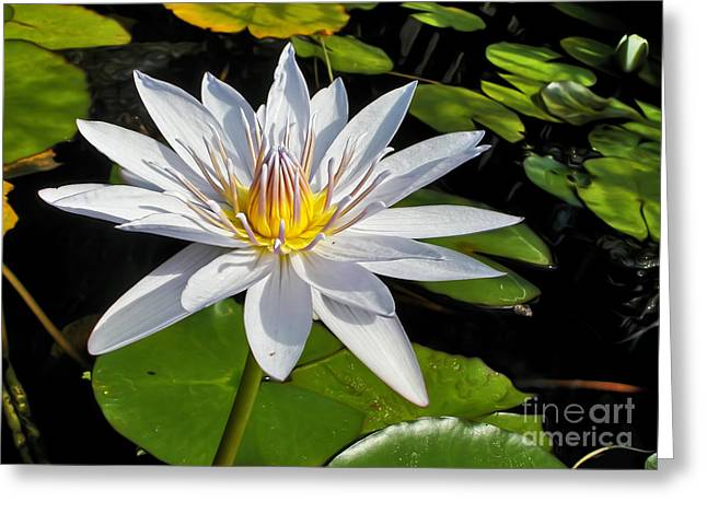 White Waterlily And Lily Pads By Kaye Menner Greeting Card