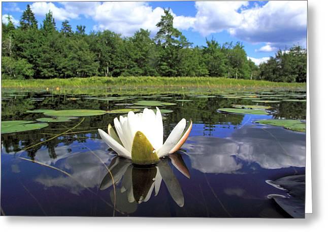 White Waterlily On A Lake Greeting Card