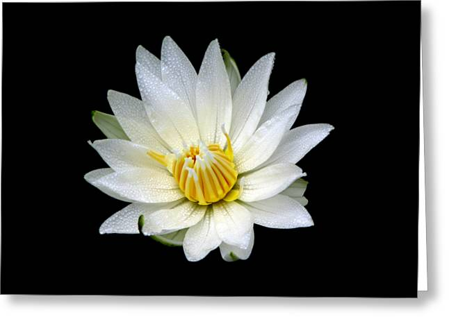 Greeting Card featuring the photograph White Waterlily With Dewdrops by Rose Santuci-Sofranko