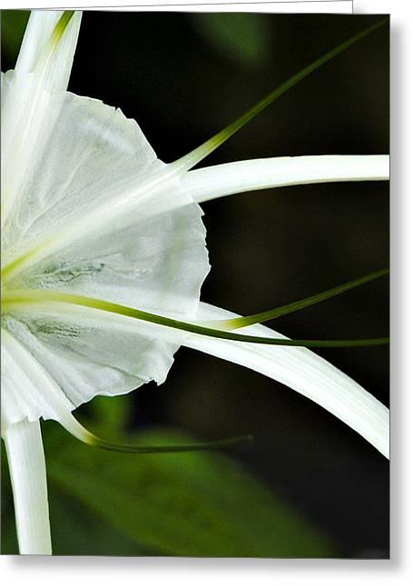 White Whispy Flower Greeting Card by Tessa Hunt-Woodland