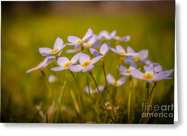 White Wild Flowers - Close Up Greeting Card