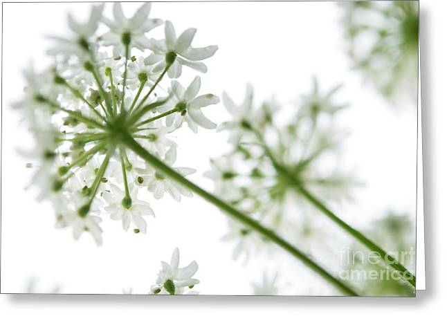 Selinum Wallichiunum Close Up Greeting Card by Michelle Himes