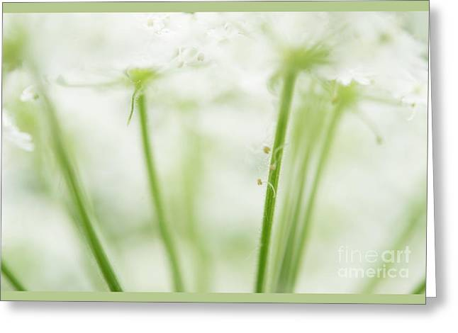 Queen Ann's Lace Closeup  Greeting Card by Michelle Himes