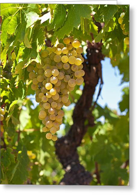 White Wine Grapes  Greeting Card