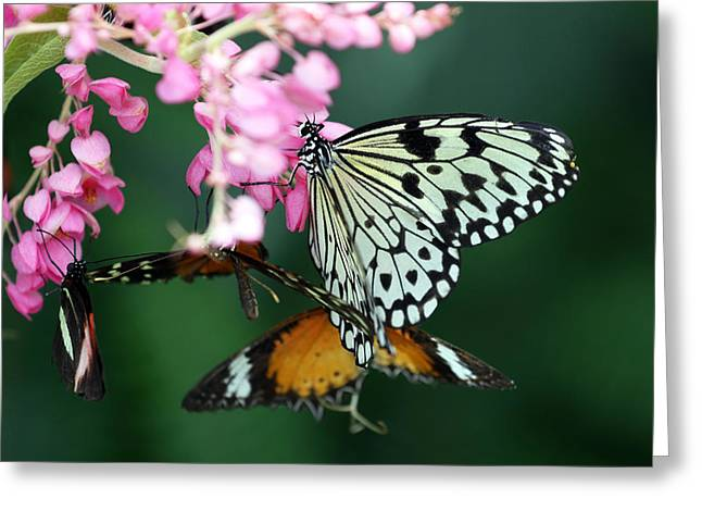 White Winged Butterfly Greeting Card by David Yunker
