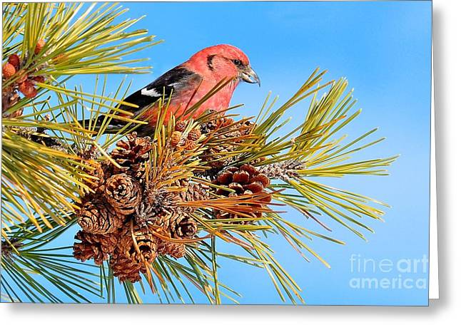 Greeting Card featuring the photograph White-winged Crossbill by Debbie Stahre