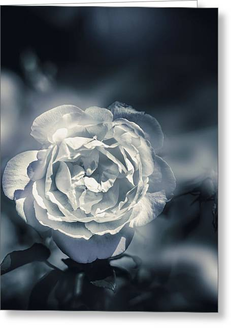 White Winter Rose Wilting In A Blue Gloomy Field Greeting Card by Jorgo Photography - Wall Art Gallery
