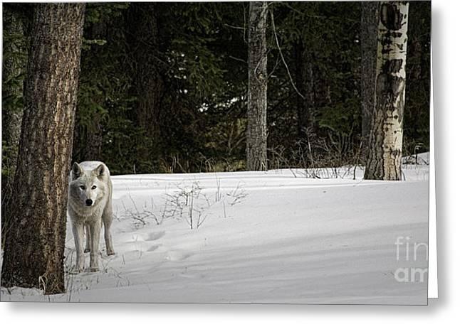 White Wolf Greeting Card by Brad Allen Fine Art