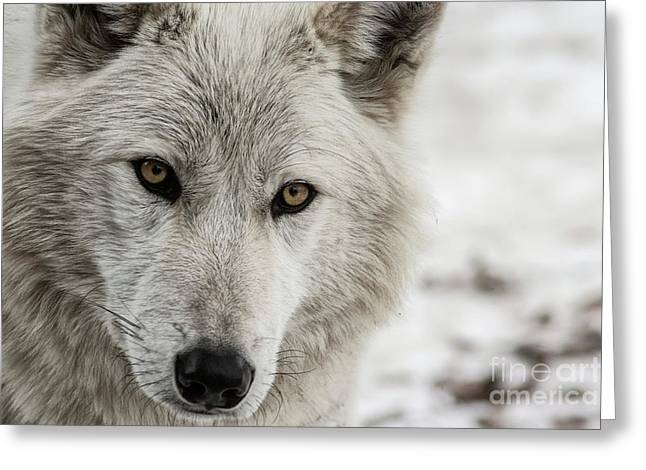 Greeting Card featuring the photograph White Wolf II by Brad Allen Fine Art