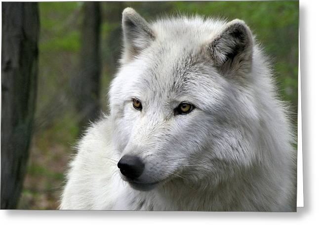 White Wolf With Golden Eyes Greeting Card