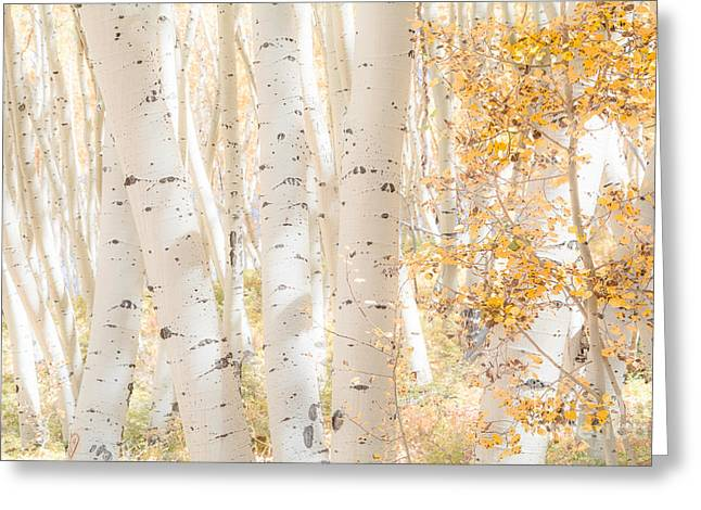 White Woods Greeting Card by The Forests Edge Photography - Diane Sandoval