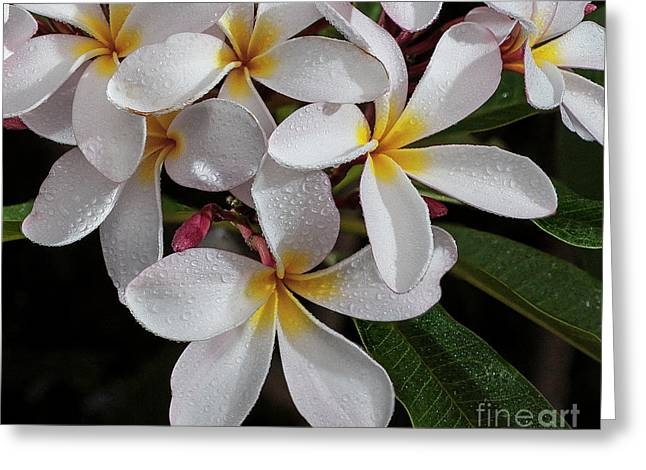 White/yellow Plumerias In Bloom Greeting Card