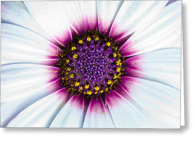 Whites, Pinks With Yellows Greeting Card by Sean Davey