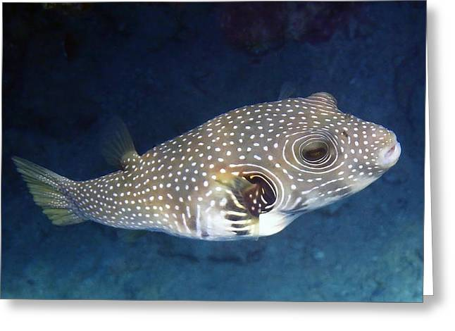 Whitespotted Pufferfish Closeup Greeting Card