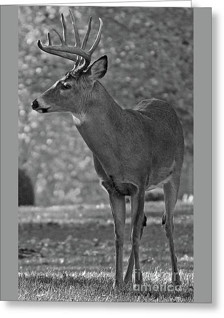 Whitetail Buck Black And White Greeting Card