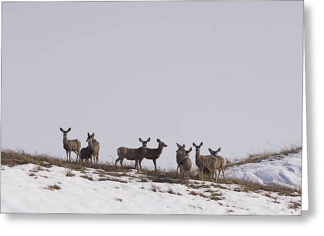 Whitetail Deer In The Snow In Burwell Greeting Card by Joel Sartore