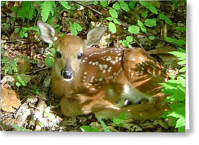 Whitetail Fawn II Greeting Card