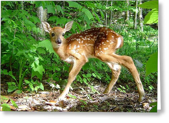 Whitetail Fawn Greeting Card