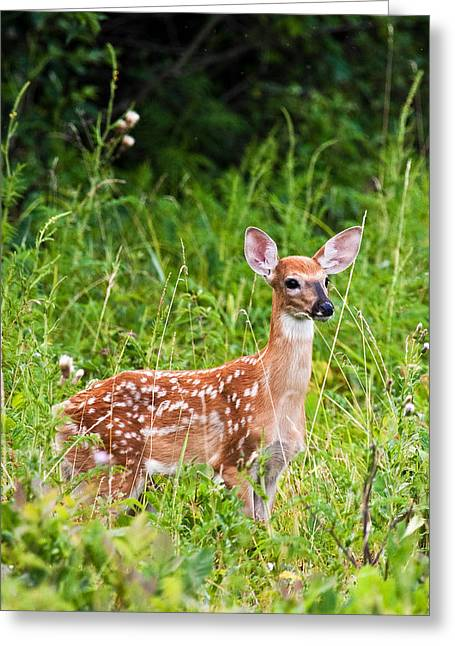 Whitetail Fawn Greeting Card by James Marvin Phelps