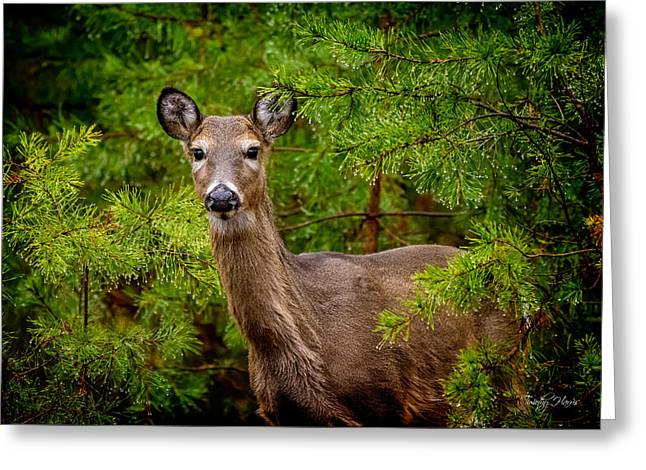 Whitetail In The Pines Greeting Card