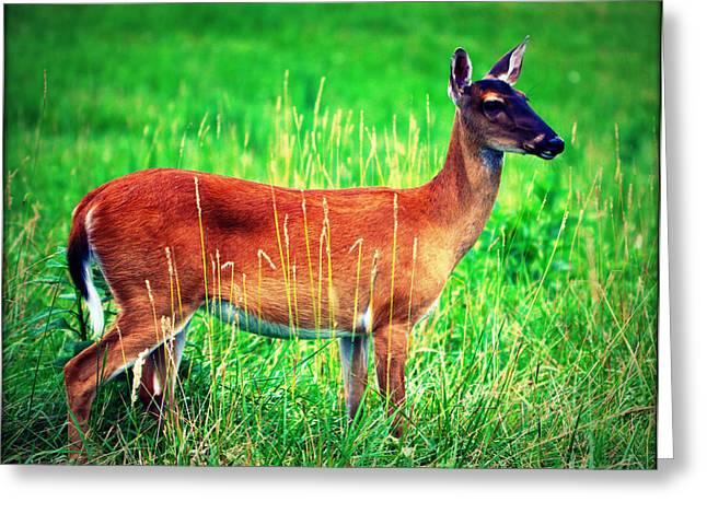 Whitetailed Deer Greeting Card by Susie Weaver