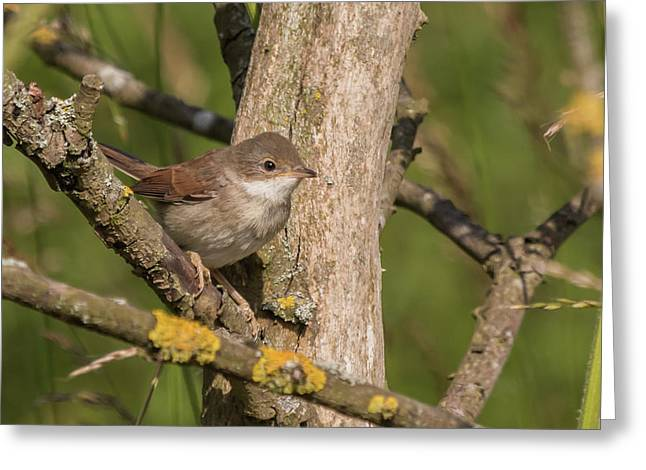 Whitethroat Greeting Card