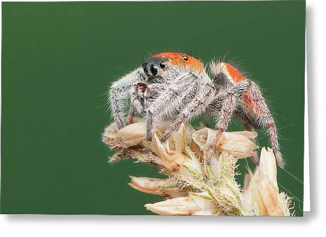 Whitman's Jumping Spider Greeting Card by Derek Thornton