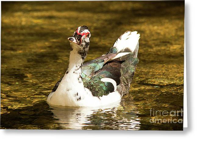Who Me Wildlife Art By Kaylyn Franks Greeting Card
