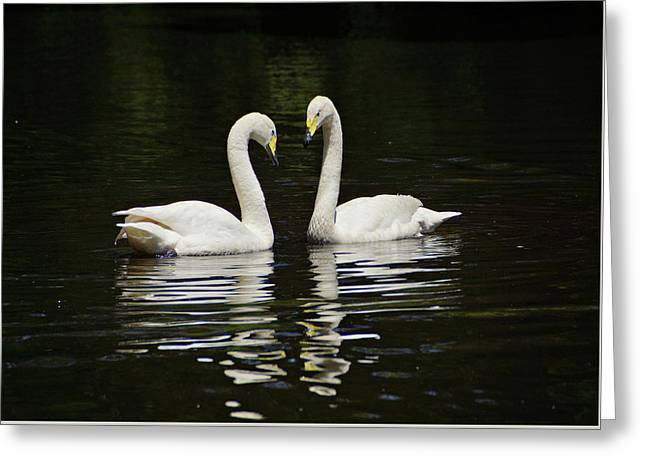 Greeting Card featuring the photograph Whooper Swans by Sandy Keeton