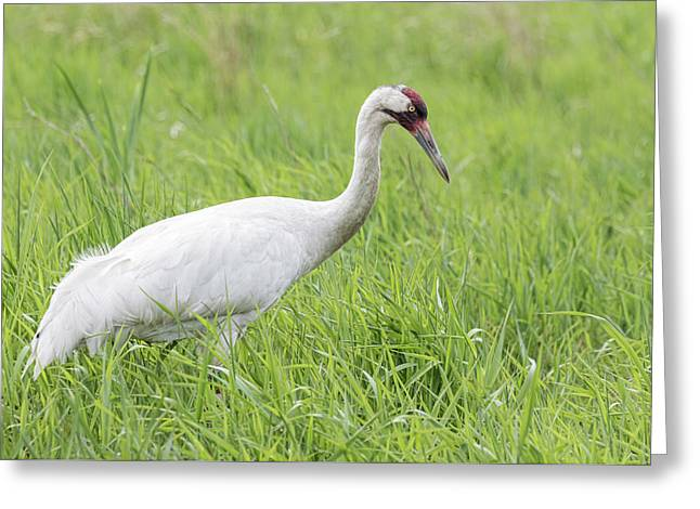 Whooping Crane 2017-3 Greeting Card by Thomas Young