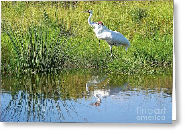 Greeting Card featuring the photograph Whooping Cranes by Charles Robinson