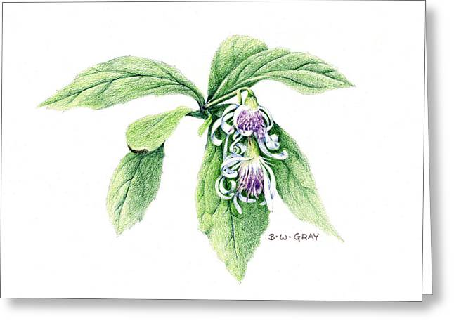 Whorled Wood Aster Greeting Card by Betsy Gray