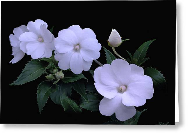 Whte Impatiens Greeting Card