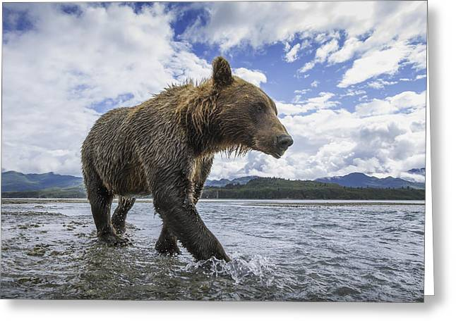 Wide Angle View Of Coastal Brown Bear Greeting Card