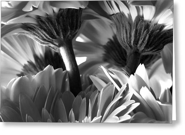 Wide Monochrome Gerbera Daisies Greeting Card by Tony Grider