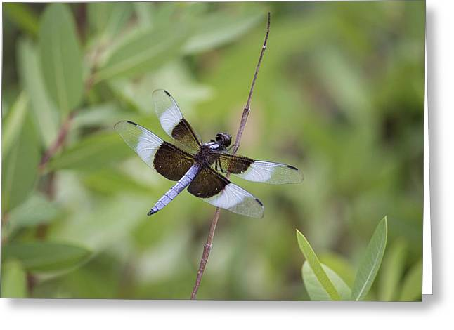 Widow Skimmer Male Dragonfly.  Greeting Card by Becca Buecher