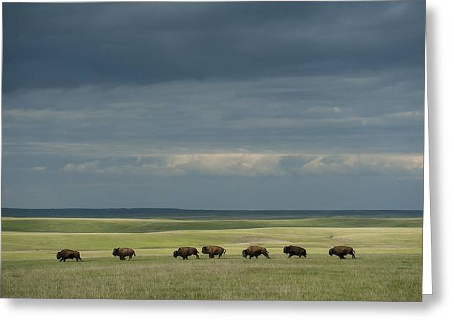 Wild American Bison Roam On A Ranch Greeting Card