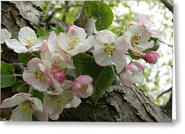 Greeting Card featuring the photograph Wild Apple Blossoms by Angie Rea