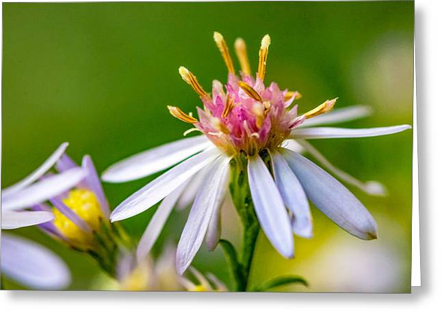Wild Aster Greeting Card by Steve Harrington
