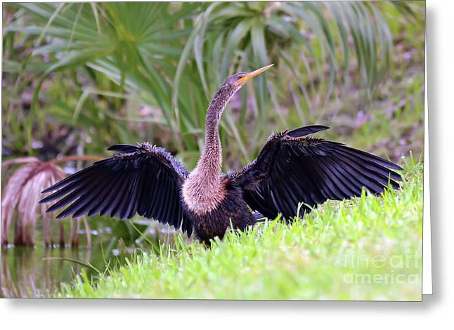 Greeting Card featuring the photograph Wild Birds - Anhinga by Kerri Farley
