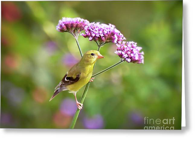 Greeting Card featuring the photograph Wild Birds - Female Goldfinch by Kerri Farley