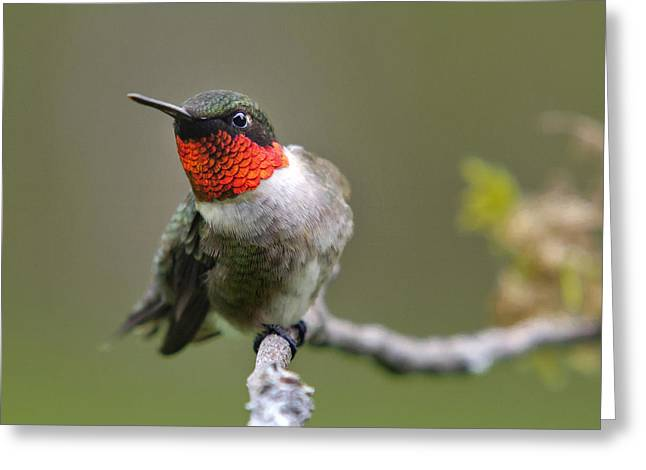Wild Birds - Ruby Throated Hummingbird Square Greeting Card by Christina Rollo