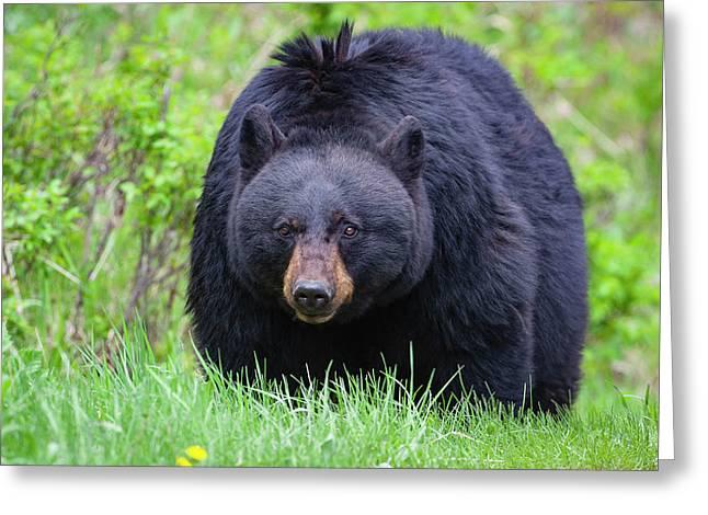 Wild Black Bear Greeting Card