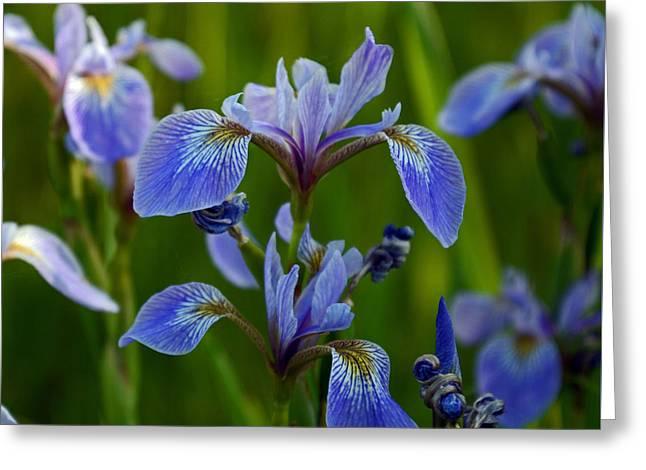 Wild Blue Iris Greeting Card