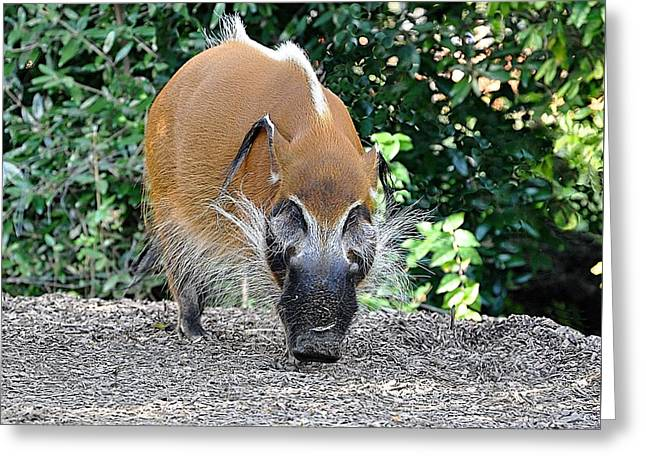 Wild Boar Greeting Card by Jan Amiss Photography