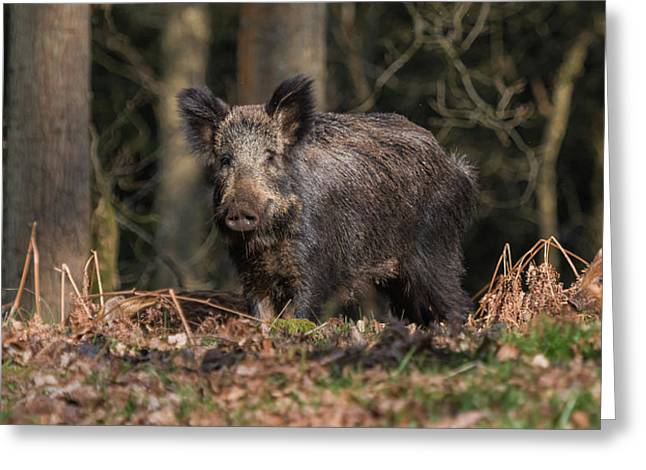 Wild Boar Sow And Young Greeting Card
