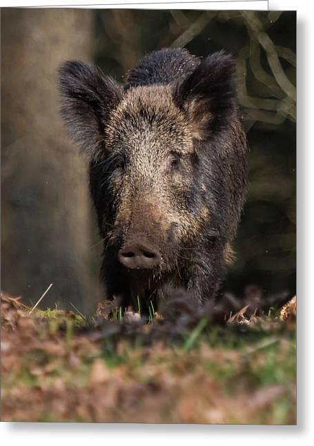 Wild Boar Sow Portrait Greeting Card