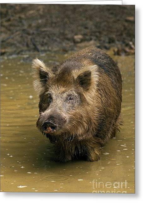 Wild Boar Sus Scrofa Greeting Card
