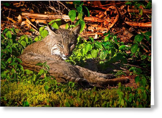 Wild Bobcat At Sunset Greeting Card by Mark Andrew Thomas